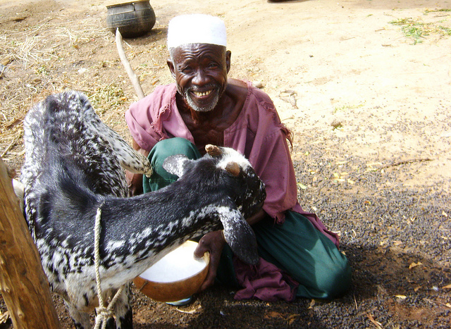 A village chief milking one of his goats in Ségou District, Mali. Photo: ILRI/Valentin Bognan Koné. Source: Flickr (ILRI Images)