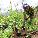 The evolution of mainstreaming nutrition in Africa's agriculture sector