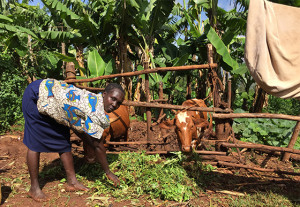 Mary Adoyo feeding her cattle. (Photo credit C.Timler, May 2015.)