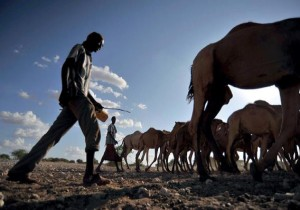Cattle herded to a water point near Wajir, in northern Kenya. Photo source: ILRI Corporate Report 2014–2015. ILRI/Riccardo Gangale (CC BY-NC-SA)