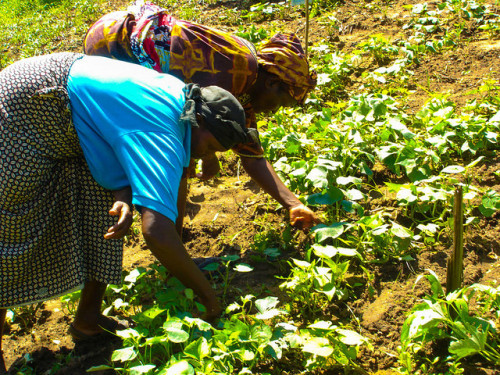 Kenyan women farmers in the field