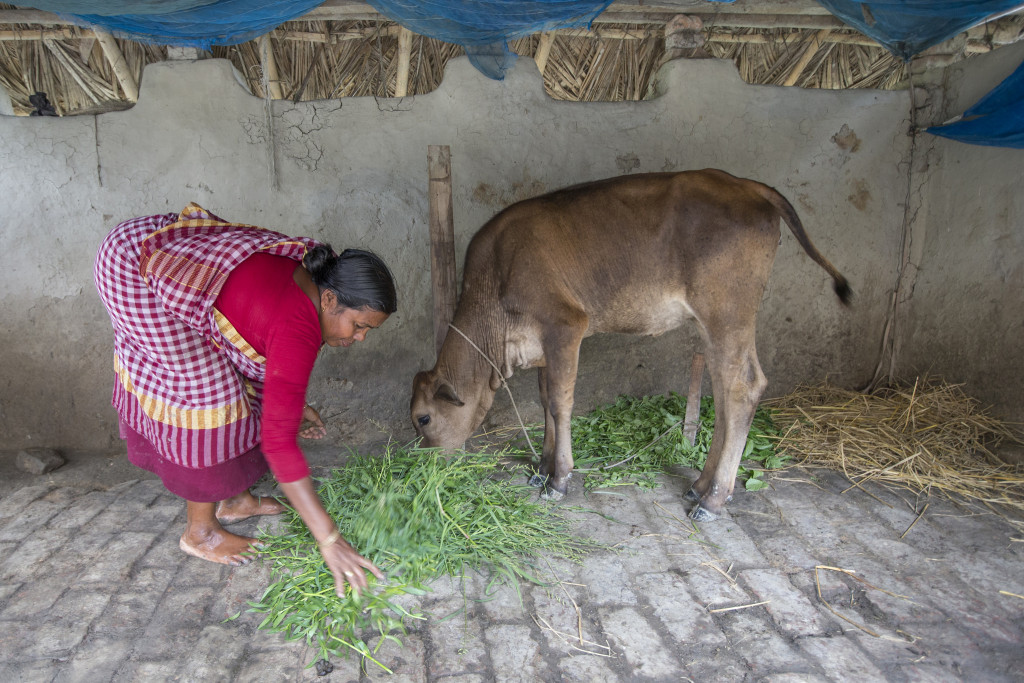 A woman feeding a cow in Bangladesh. Source: Flickr (Yousuf Tushar/WorldFish)