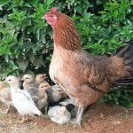 Women, village chickens, and animal source food consumption in Timor-Leste