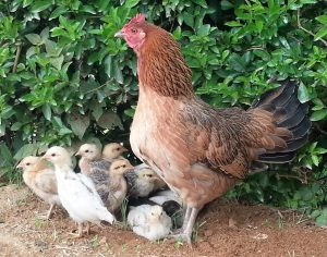 Hen with her chicks in Timor-Leste (Photo credit: Johanna Wong)