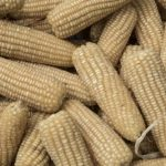 First Zinc Maize Variety Launched to Reduce Malnutrition in Colombia