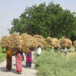 New Studies Highlight Potential of Zinc-Biofortified Wheat