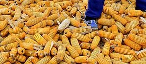 What Must Be Done to Get Toxin Out of Kenya's Food Supply